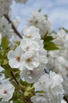 Prunus serrulata \' Shirotae \', arbre au feuillage caduc bronze au printemps vert en été virant au jaune en automne. Fleurs blanche simple au printemps.