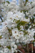 Prunus serrulata \' Shirotae \'