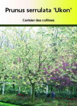 Prunus serrulata \' Ukon \', arbre au feuillage bronze au printemps puis vert en été et rouge pourpre à l\'automne. Fleurs crème double nuancé de vert au printemps.