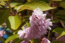 IMG_5724, arbre au feuillage caduc bronze au printemps et orange vif en automne. Fleurs doubles rose foncé, rose vif et rose pâle.
