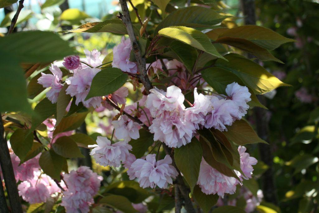 Prunus serrulata \'Kanzan\'