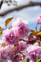 Prunus serrulata \'Kiku-Shidare-Zakura\'