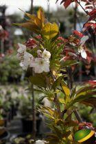 Prunus serrulata \'Shirotae\'