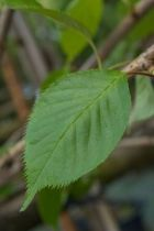 IMG_0215, arbre au feuillage caduc bronze au printemps vert en été et jaune orange en automne. Fleurs blanc pur au printemps.
