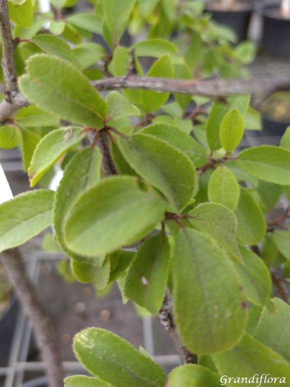 Prunus spinosa Porte-greffe