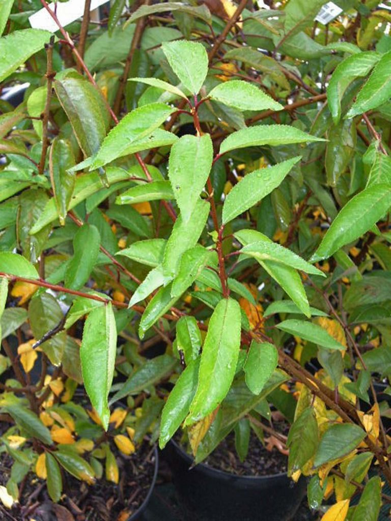 Prunus subhirtella  \' Fukubana \', arbre au feuillage caduc vert foncé aux fleurs doubles rose soutenu au printemps.