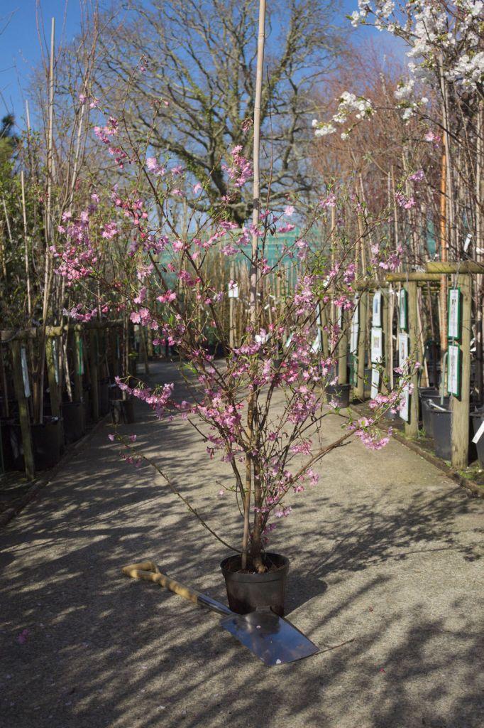 Prunus subhirtella  \' Fukubana \'