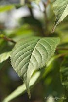 IMG_0394, arbre au feuillage caduc jaune puis rouge pourpré en automne. Fleurs blanches au printemps.