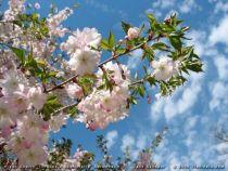 Prunus_subbhirtella_\'Autumnalis\'_(fleurs)