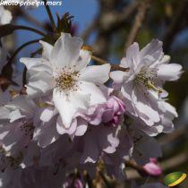 Prunus x subhirtella autumnalis \'Rosea\'