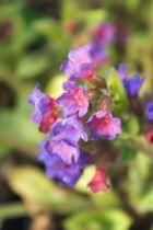 Pulmonaria saccharata \'Margery Fish\' ou pulmonaire vivace à floraison bleu-myosotis virant au rose en mars avril et au feuillage marbré de blanc gris. Plante d\'ombre et de terrain frais.