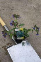 Pulmonaria Trevi fountain, vivace caduque aux feuilles vertes marbrées de blanc et à la floraison bleu cobalt au printemps.