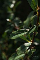 Pyracantha  \' Orange \', arbuste persistant au feuillage vert épineux et aux fleurs blanches au printemps suivies de fruits oranges à l\'automne.