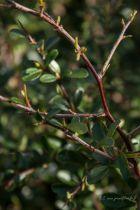 Pyracantha  \' rouge \', arbuste persistant au feuillage épineux vert et au fleurs blanches au printemps suivies de fruits rouge vif en grappes à l\'automne.