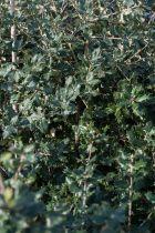 Quercus * ilex Tige