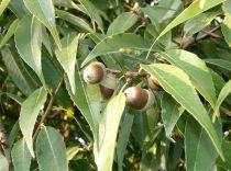 Quercus* myrsinifolia