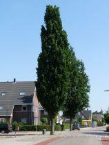 Quercus* palustris \'Green Pillar\'