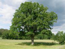 Quercus* petraea