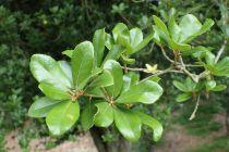 Quercus* phillyreoides