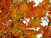 Quercus* rubra