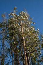 Quercus hispanica \' Waasland \', arbre au feuillage semi-persistant verte et aux glands allongé. Ecorce liègeuse.