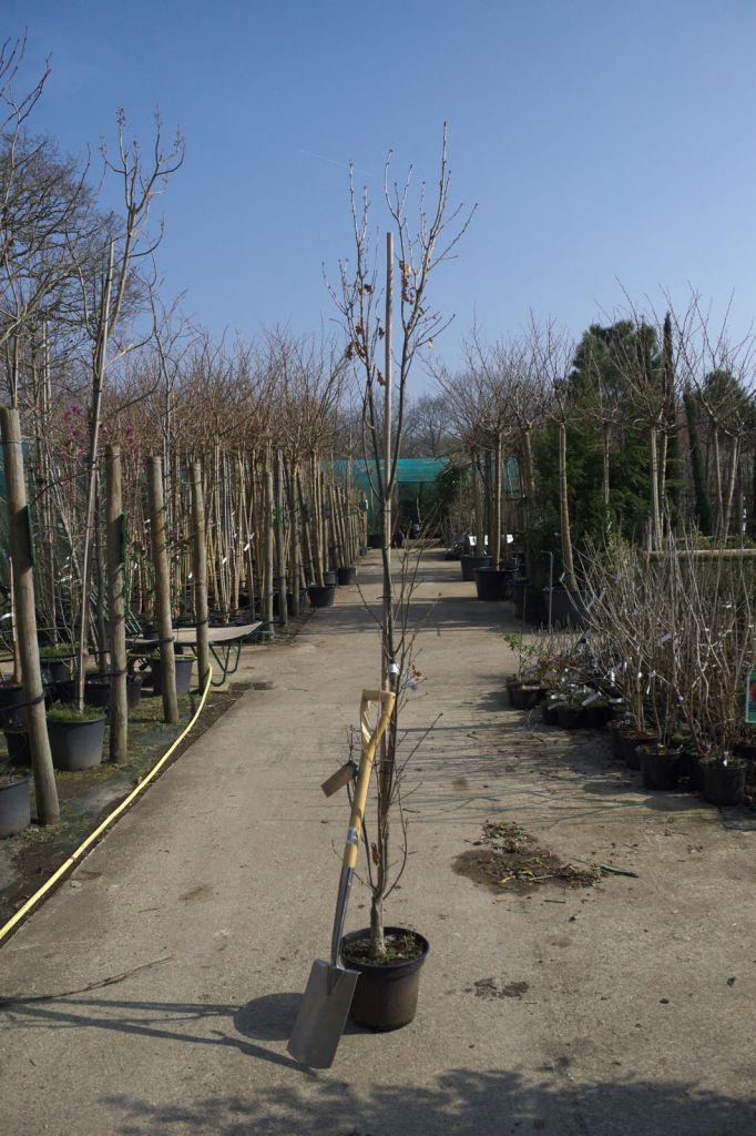 Quercus robur \' Fastigiata \'