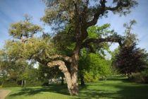Quercus sube ou chêne liège. Arbre persistant au feuillage vert glaucque ressemblant aux feuilles de houx et à l\'écorce liègeuse très décorative.