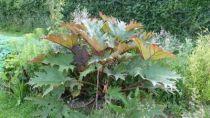 Rheum palmatum \'Tanguticum\'