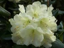 Rhododendron* \'Ehrengold\'
