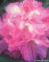 Rhododendron* \'Madame Ida Rubenstein\'