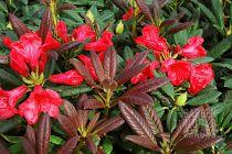 Rhododendron* hybride \'Elizabeth Red\'