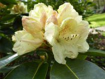 Rhododendron* hybride \'Horizon Monarch\'