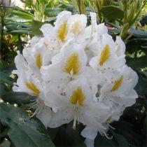 Rhododendron* hybride \'Madame Masson\'