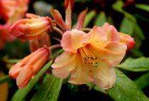 Rhododendron* hybride \'Tortoiseshell Orange\'