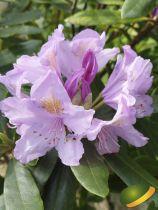 Rhododendron* ponticum ¤