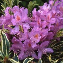 Rhododendron* ponticum \'Variegatum\'