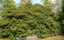 Rhododendron* ponticum