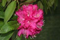 Rhododendron* ponticum Rose fuchsia