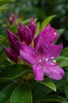 Rhododendron* x \'Anna Krusche\'