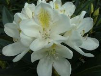 Rhododendron* x \'Chionoides\'