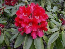 Rhododendron x David