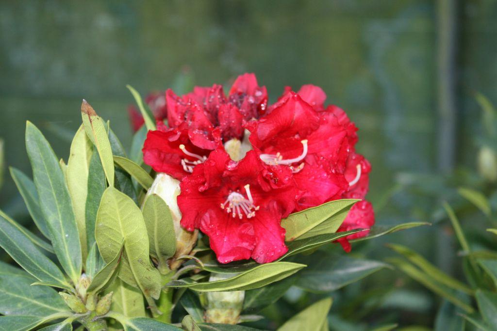 Rhododendron* x \'David\'