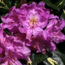 Rhododendron* x \'Goldflimmer\'