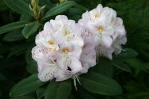 Rhododendron* x \'Gomer Waterer\'