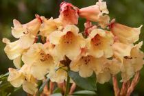 Rhododendron* x \'Jingle Bells\'
