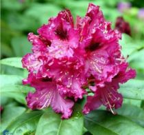 Rhododendron* x \'Marie Fortier\'