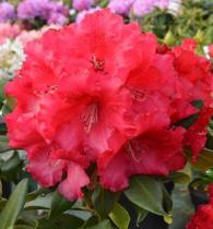 Rhododendron* x \'Markeeta\'s Prize\'