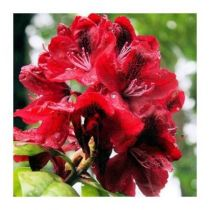 Rhododendron* x \'Moser\'s Maroon\'