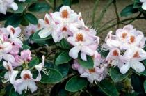 Rhododendron* x \'Mrs T.H. Lowinski\'
