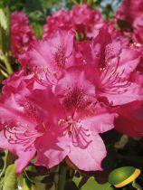 Rhododendron* x \'Nova Zembla\' ¤
